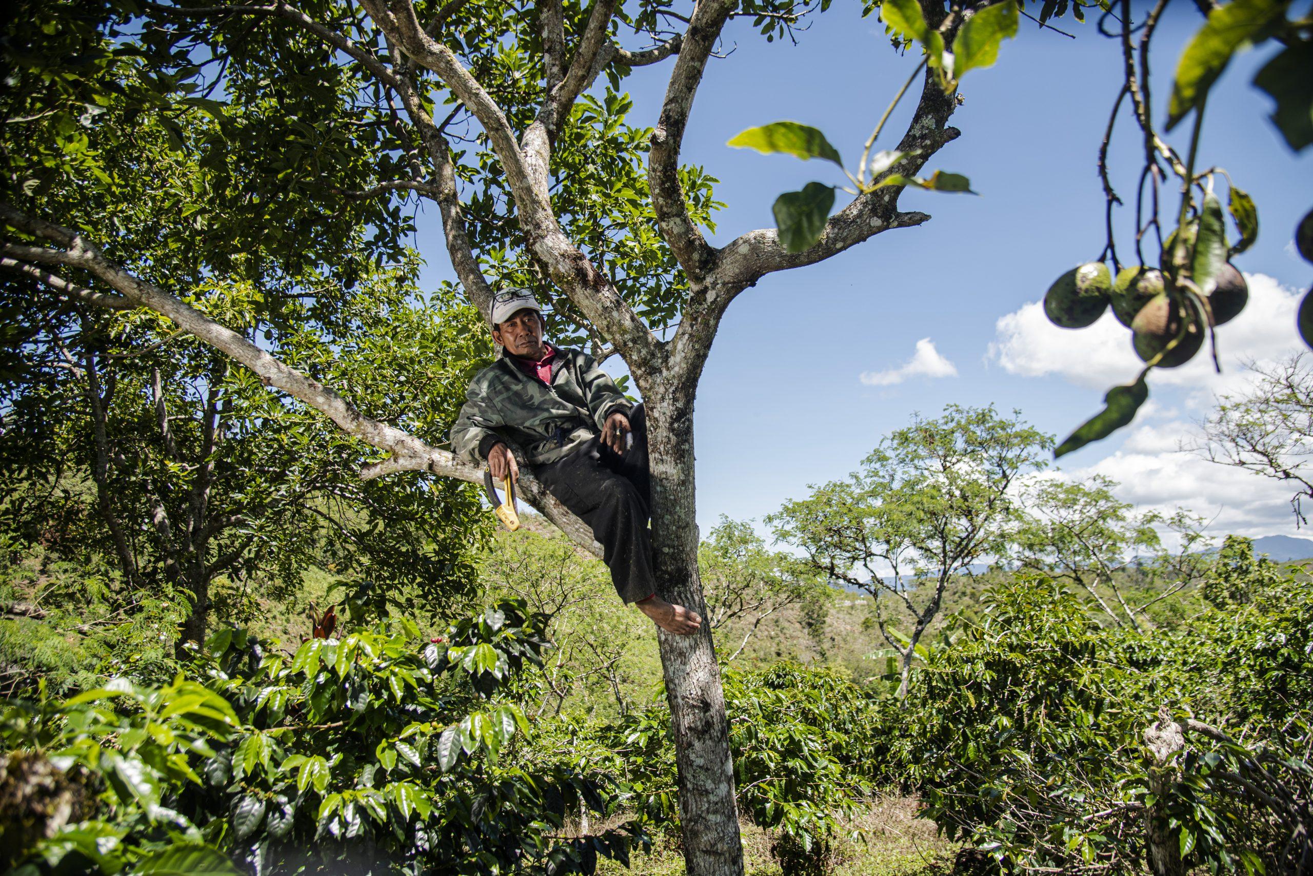 Planter des avocats… pour aider le café à pousser