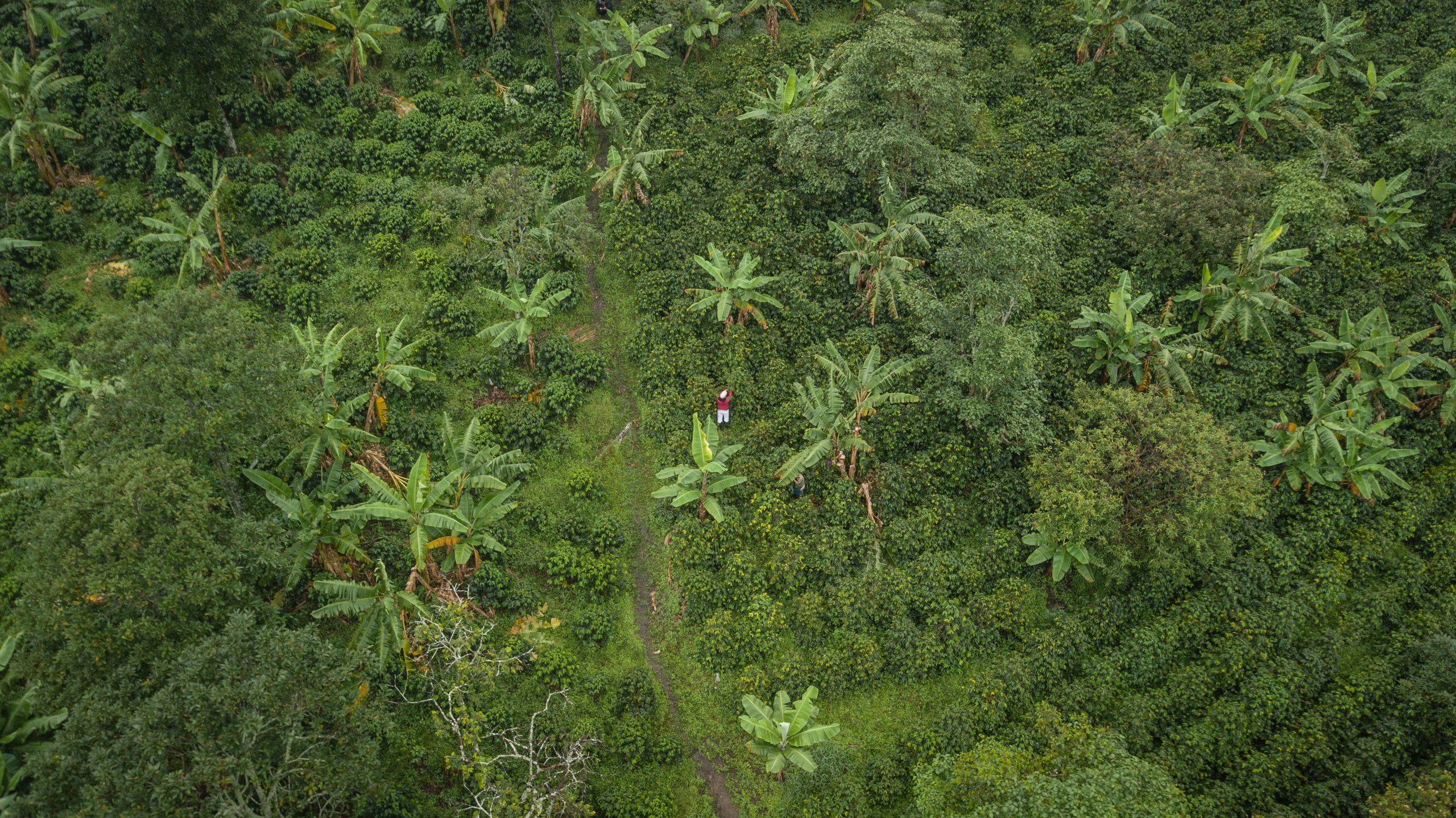 Démystifier le rôle de Fairtrade dans le commerce du café